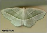 Pale Beauty MothCampaea perlata #6796