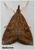 Celery Leaftier MothUdea rubigalis #5079