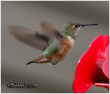Allen's Hummingbird-Female