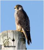Perigrine Falcon-Juvenile