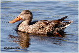 Northern Shoveler-Female
