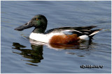 Northern Shoveler-Male