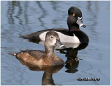 Ringed-neck Duck- Pair