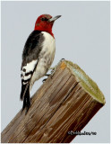 Red-headed Woodpecker-Juvenile