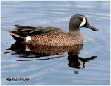 Blue-winged Teal-Male