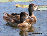 Ringed-neck Duck-Females