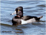 Ringed-neck Duck-Male
