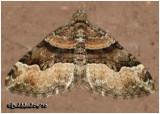 Toothed Brown Carpet MothXanthorhoe lacustrata #7390
