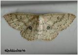 Packard's Wave MothCyclophora pacardi #7136