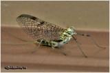 Stream Mayfly-Female imago