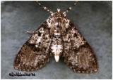 Splendid Palpita MothPalpita magniferalis #5226