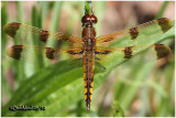 Painted Skimmer-Male