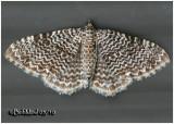Cherry Scallop Shell Moth Rheumaptera prunivorata #7292