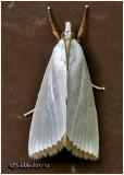 Snowy Urola MothUrola nivalis #5464