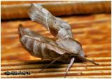Walnut Sphinx Moth-Amorpha juglandis  #7827