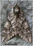 Waved Sphinx MothCeratomia undulosa #7787