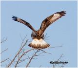 Rough-legged Hawk-Light