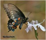 Pipevine SwallowtailBattus philenor