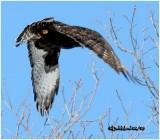 Rough-Legged Hawk-Dark Male