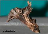 Abbott's Sphinx Moth Sphecodina abbottii #7870