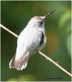 Leucistic Ruby-throated Hummingbird