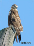 Rough-legged Hawk-Light Female