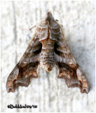 Lettered Sphinx Moth Deidamia inscripta #7871