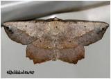 Obtuse Euchlaena MothEuchlaena obtusaria #6726