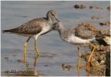 Greater Yellowlegs-Juvenile
