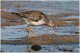 Solitary Sandpiper-Juvenile