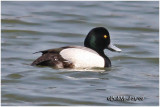 Greater Scaup-Male