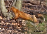 Red Fox-Adult