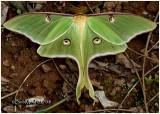 Luna Moth-MaleActias luna #7758