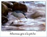 Black Crown Night Heron Fishing ...
