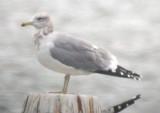California Gull (ad winter)