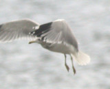 adult California Gull taking off