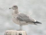 California Gull (3rd cycle)