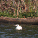 adult Northern Gannet (1st Shoals record!)