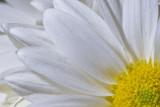 Daisy  ~  May 18
