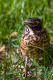 Young Robin  ~  June 7