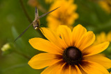 Coneflower with Dragon Fly  ~  July 16