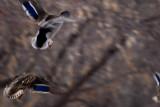 Mallards in Flight  ~  March 9