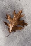 Winter Leaf  ~  March 21