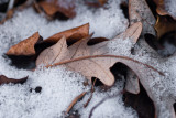Winter Leaves  ~  March 26