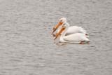 Pelicans  ~  May 27