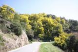 Mimosas near Tanneron