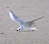 Gulls Terns Skimmers