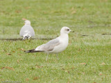 1st winter Ross's or Little Gull?