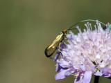 Åkerväddantennmal - Nemophora metallica (Nemophora metallica)