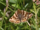 Gulbrokigt slåtterfly - Burnet Companion (Euclidia glyphica)
